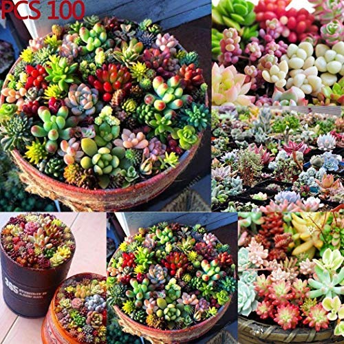 Mixed Succulent Anti-Radiation Fleshy Seeds